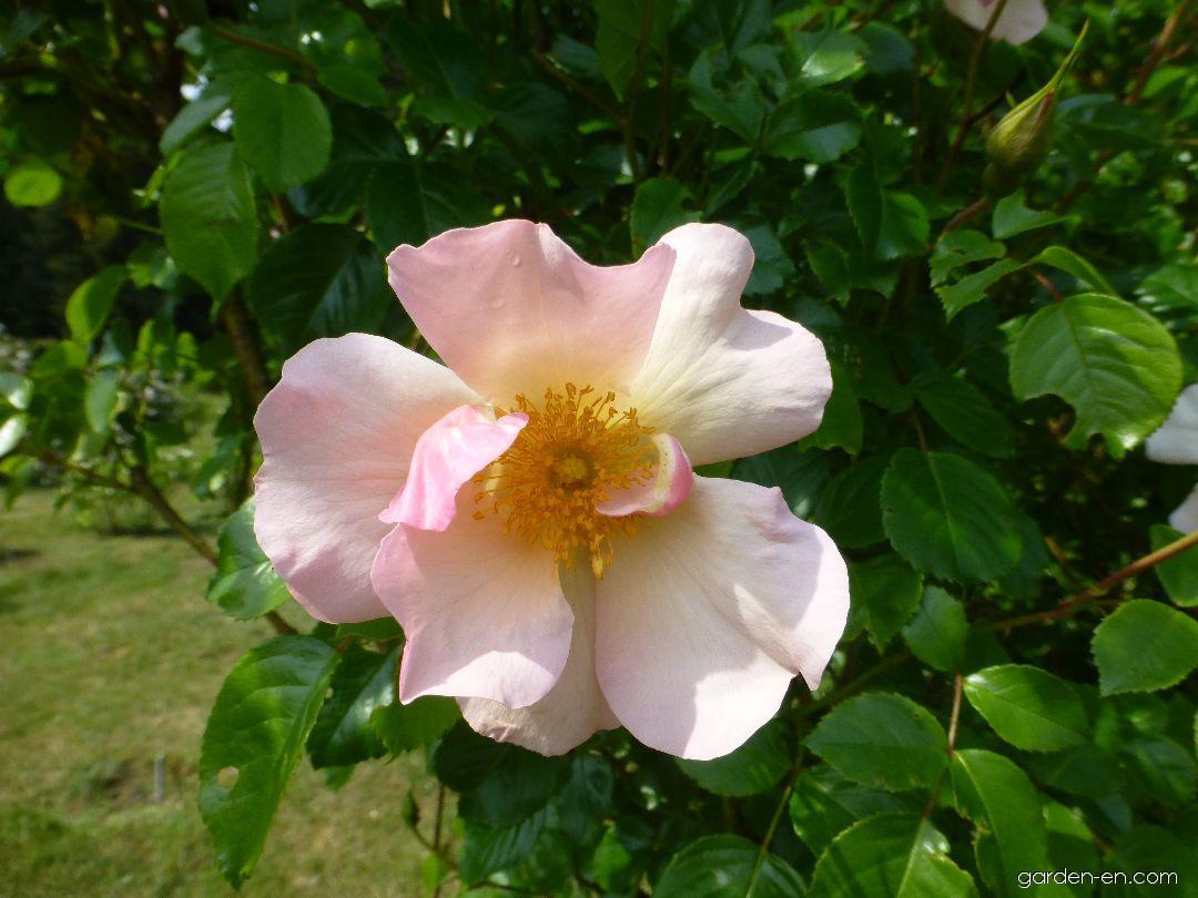 Rose - Rosa Pierre Gagnaire