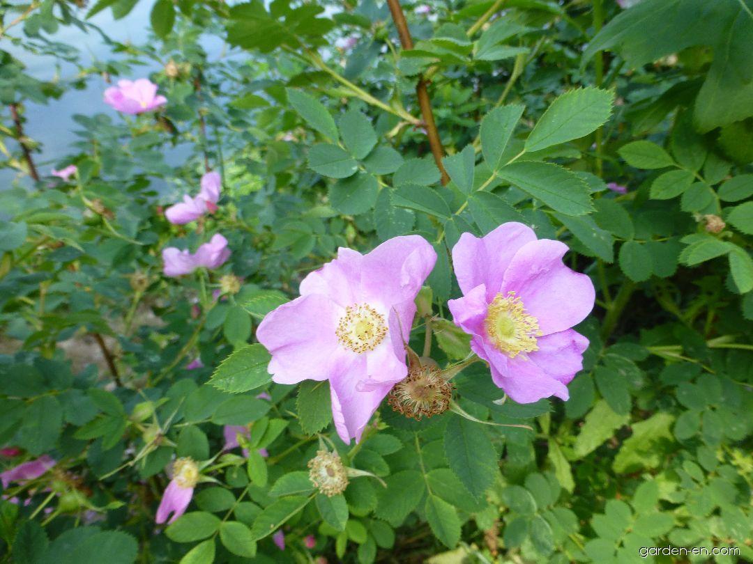 Růže vábná (Rosa blanda)