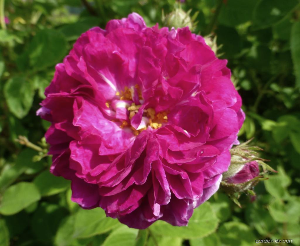 Rose - Rosa Himmelsauge