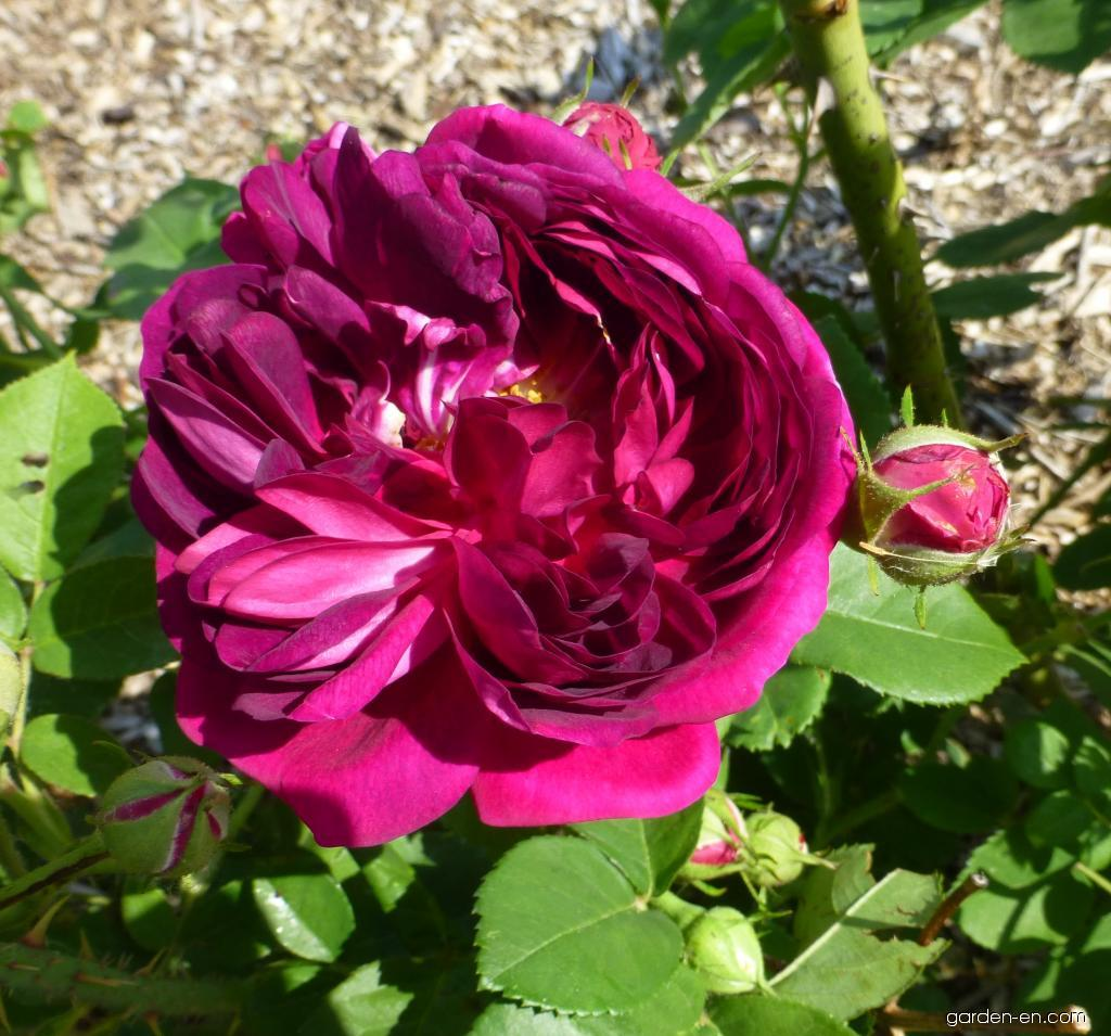 Rose - Rosa Great Western