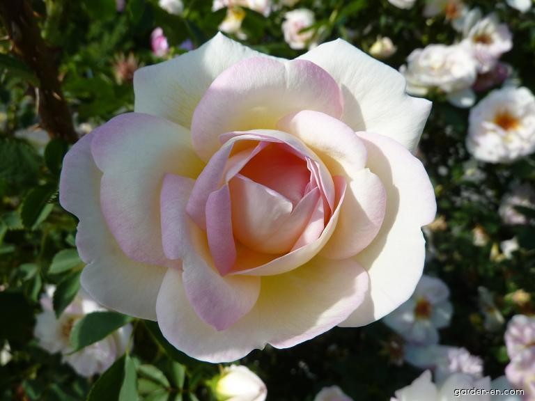 Růže (Rosa)