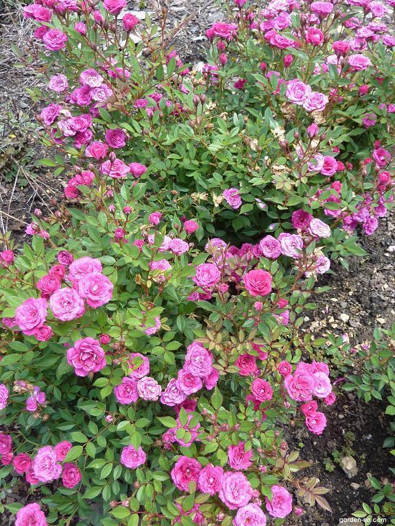 Růže - skupina miniaturní (Rosa)