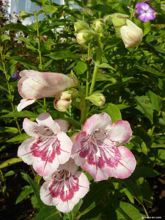 Dračík Tubular Bells Rose - květ (Penstemon hybridum)