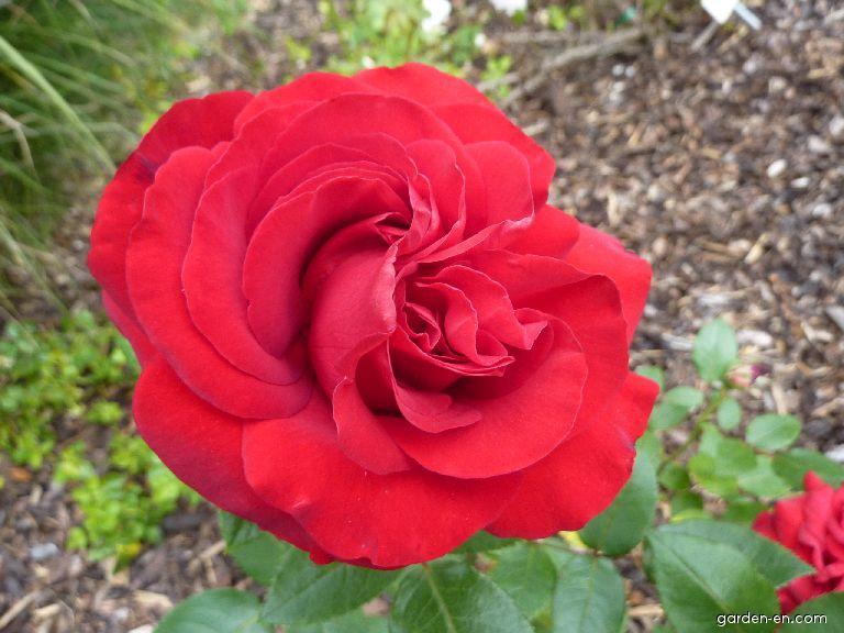 Růže Milde Schel (Rosa)