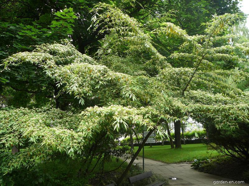 Cotoneaster  Cotoneaster salicifolius  Gardenencom
