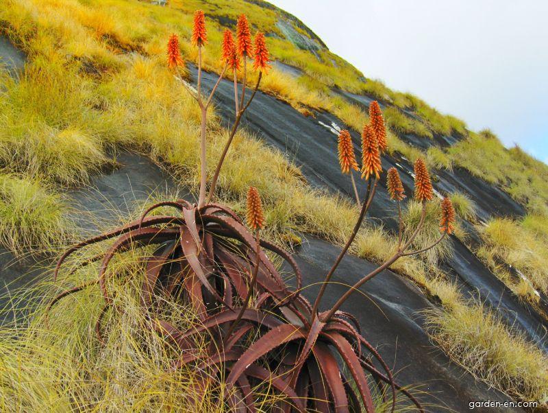 Aloe cameronii (Aloe cameronii)