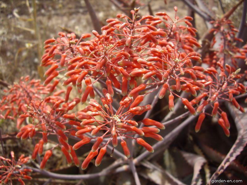 Aloe chabaudii (Aloe chabaudii)