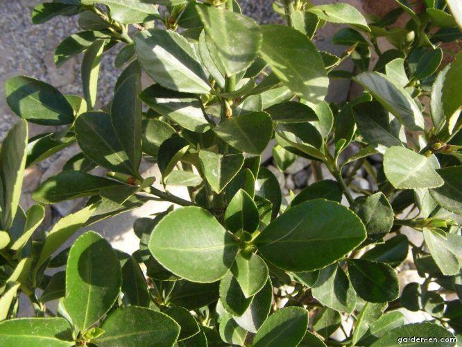 Brslen (Euonymus japonicus)