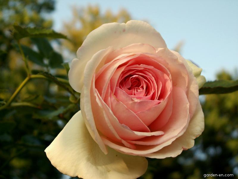 Růže - pnoucí anglická (Rosa)