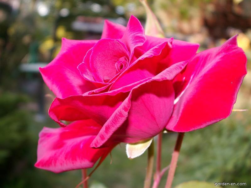 Růže - sadová (Rosa)
