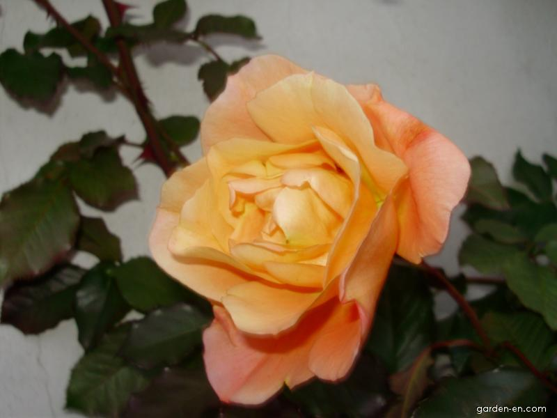 Růže květ (Rosa)