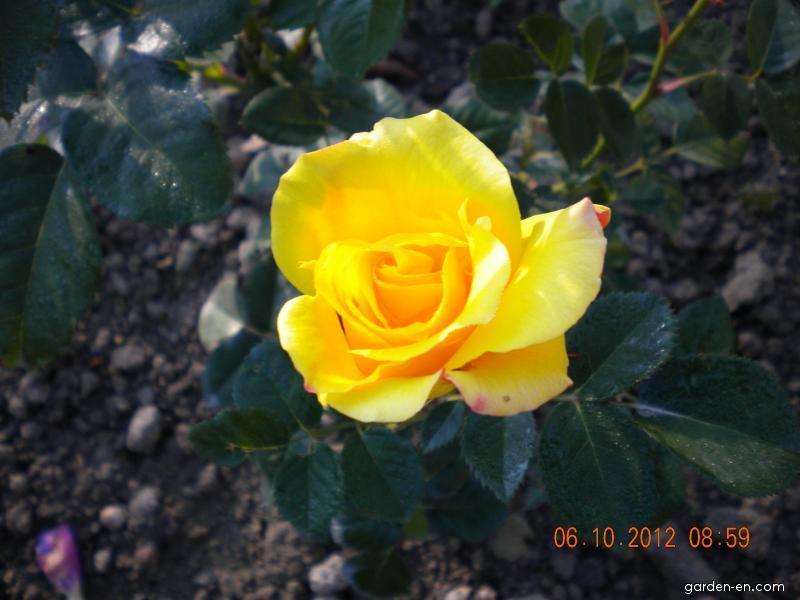 Růže Lichtkönigen Lucia (Rosa Lichtknigen Lucia)