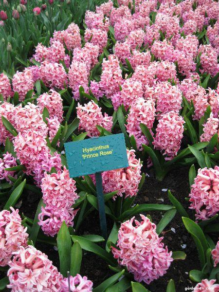 Hyacint Prince Rose (Hyacinthus)