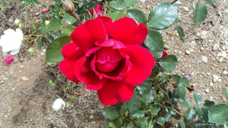 Růže Sympathie (Rosa sp)
