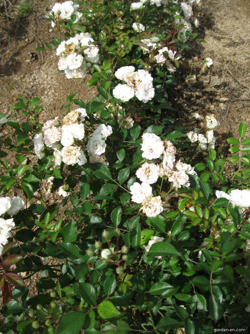 Růže Alba Meideland (Rosa sp)