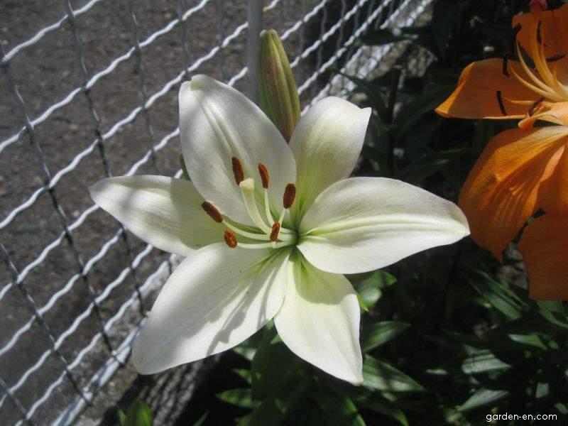 Lilie Navona - Asijský hybrid (Lilium x hybridum)