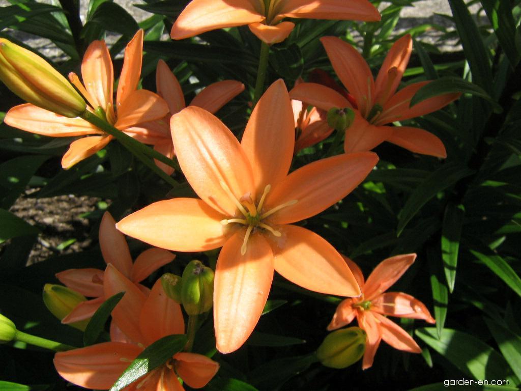 Lily - Lilium x hybridum Orange Cocotte