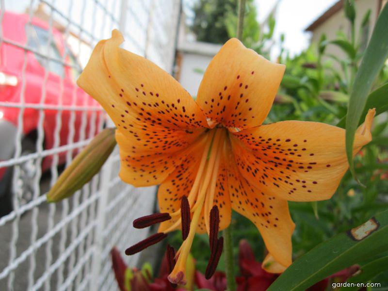Lily - Lilium x hybridum Evina