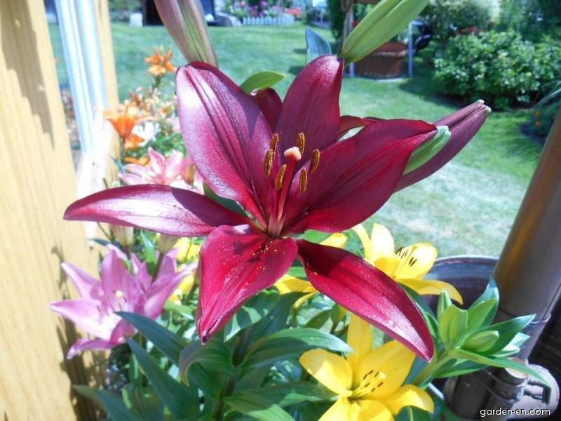 Lily - Lilium x hybridum Constable
