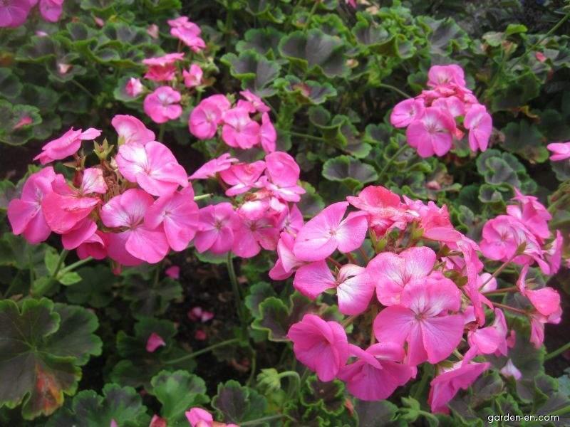 Pelargonia páskatá Black Velvet Rose (Pelargonium zonale)