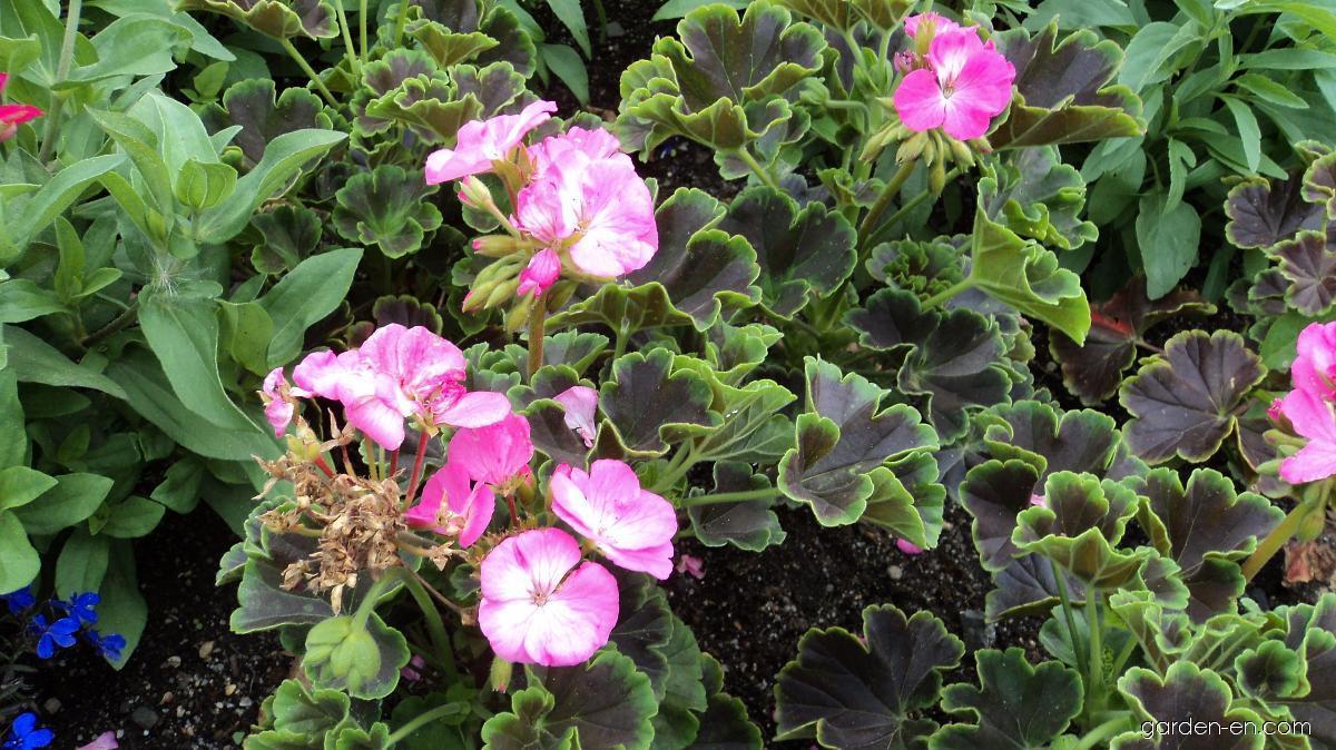 Pelargonie páskatá Black Velvet Rose (Pelargonium zonale)