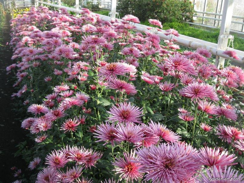 Chryzantéma Westland Rose (Chrysanthemum)