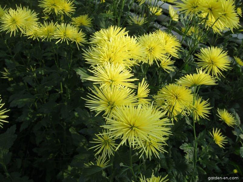 Chryzantéma Westland Yellow (Rosa sp)
