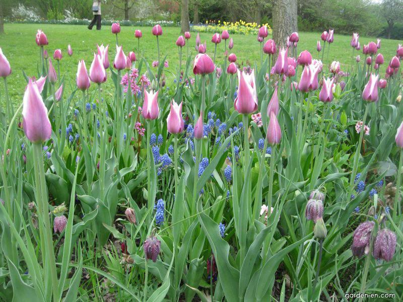 Tulipán zahradní (Tulipa x hybrida)