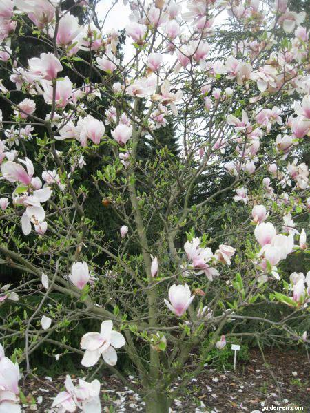 saucer magnolia magnolia x soulangeana speciosa garden. Black Bedroom Furniture Sets. Home Design Ideas