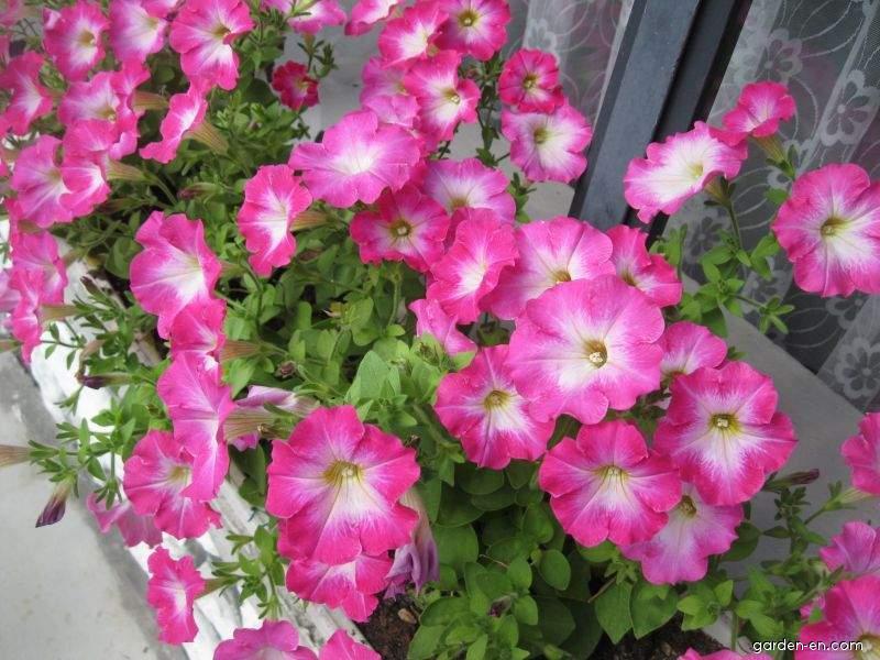 Petunia - Petunia x hybrida Corona Rose Rim