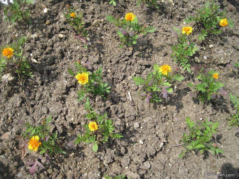 French Marigold - Tagetes patula Mowgli Orange