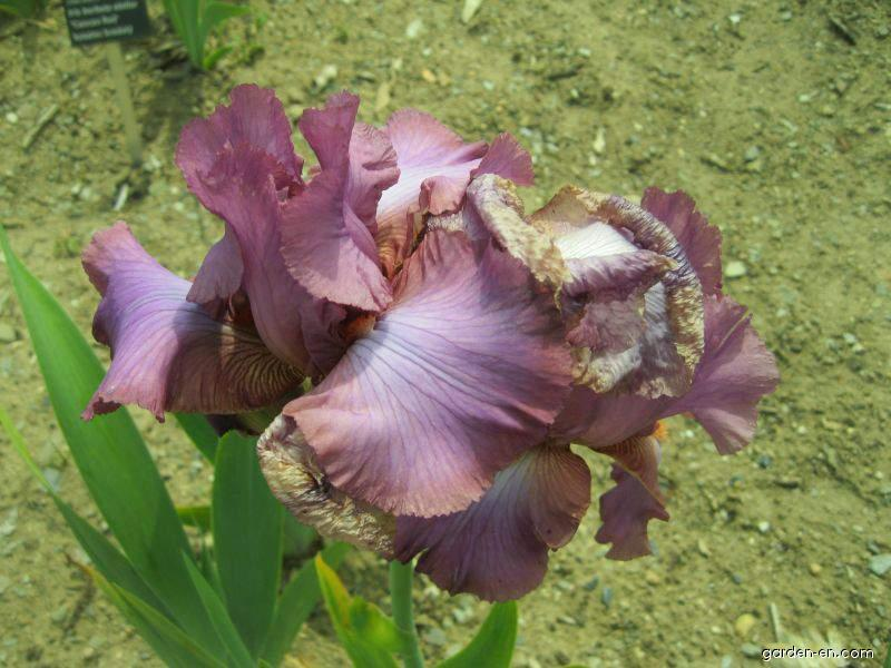 Bearded Iris - Iris barbata Windsor Rose