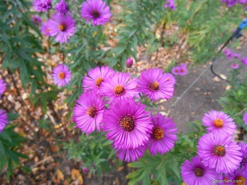 Symphyotrichum novae-angliae Andenken an Paul Gerber (New England Aster)