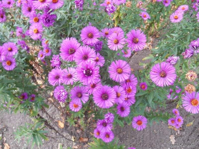 New England Aster - Symphyotrichum novae-angliae Andenken an Paul Gerber