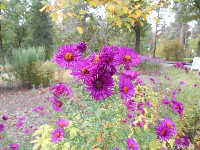 New England Aster - Symphyotrichum novae-angliae Maruška