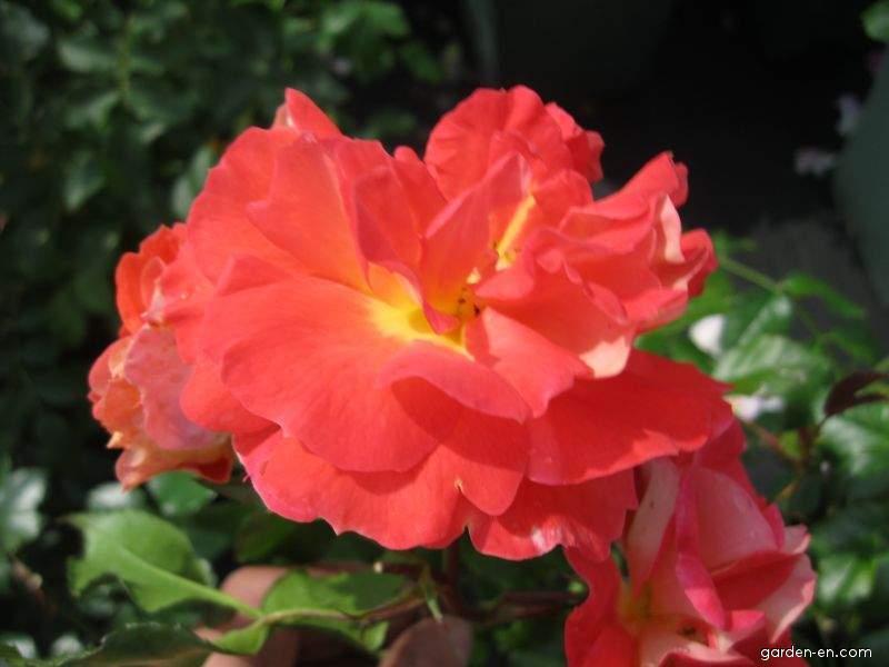 Rose - Rosa Gebrüder Grimm
