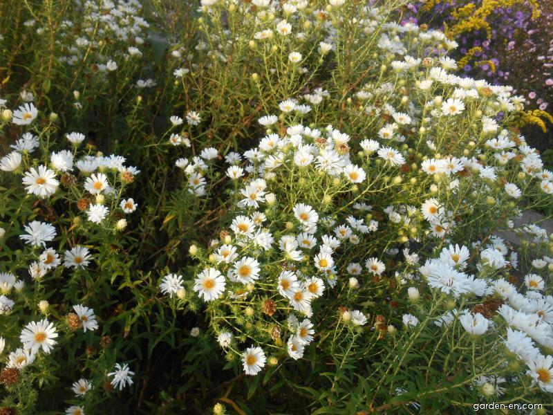 New England Aster - Symphyotrichum novae-angliae Herbstschnee