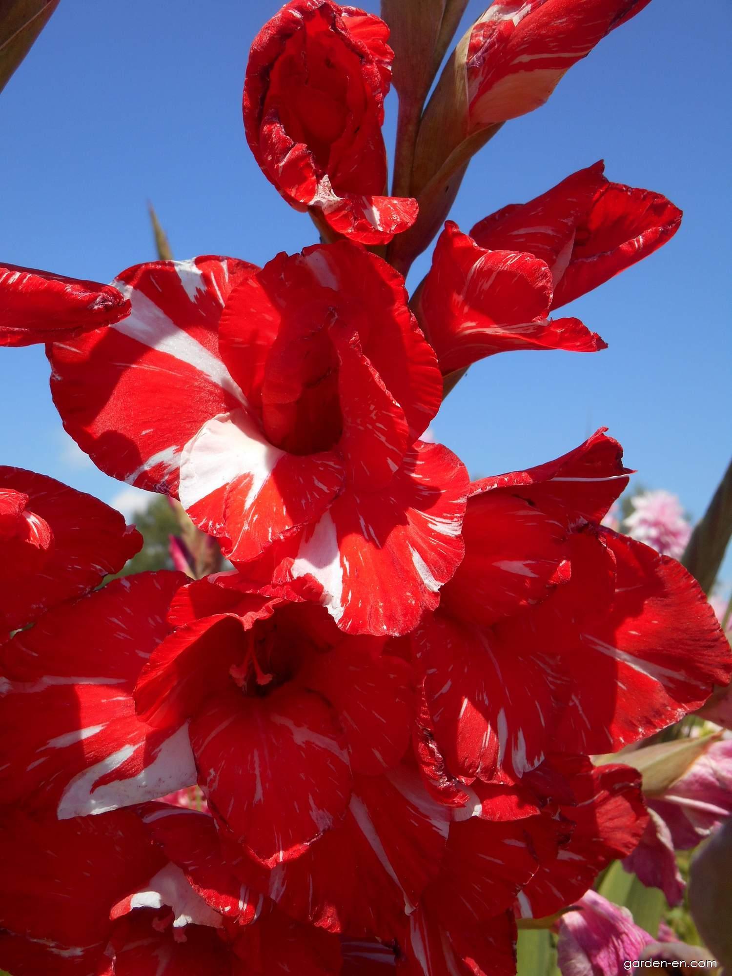 Gladiolus - Gladiolus Zizanie