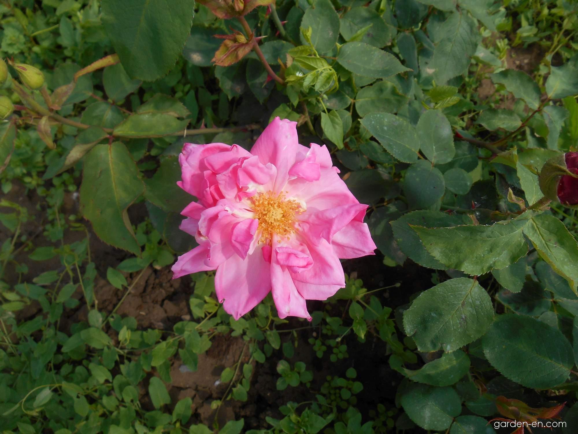 rose rosa k nigin carola von sachsen garden. Black Bedroom Furniture Sets. Home Design Ideas