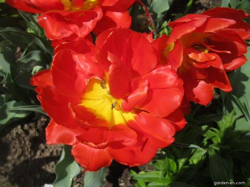 Tulipán Dubbele Roodkapje - Greigii tulipány (Tulipa greigii)