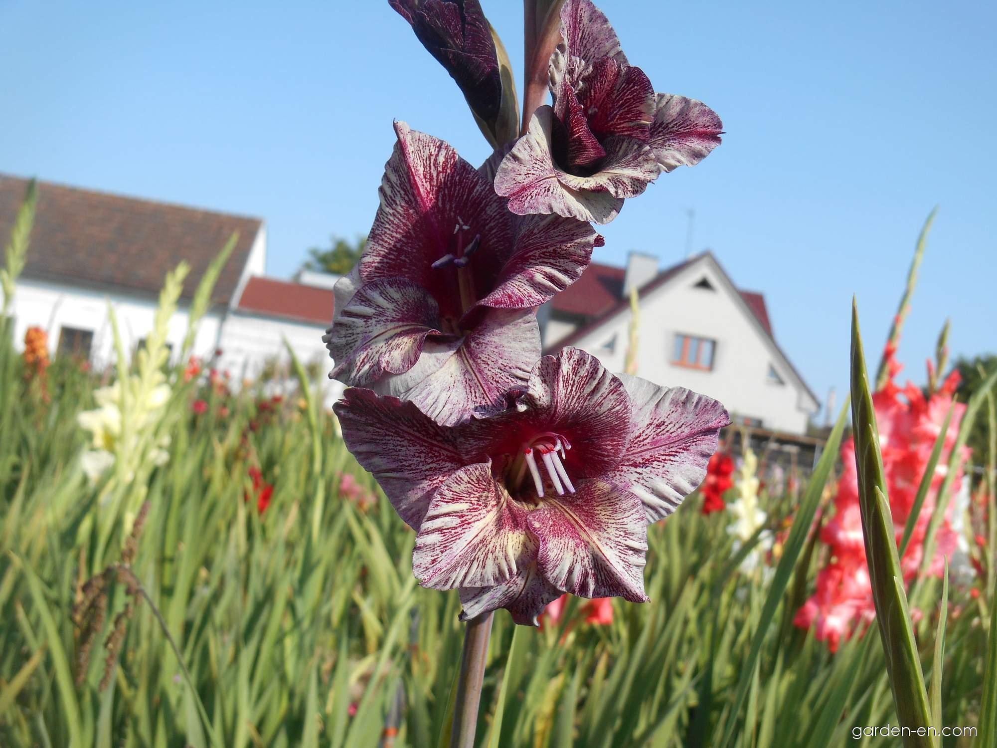 Gladiolus - Gladiolus Deneb Exotic