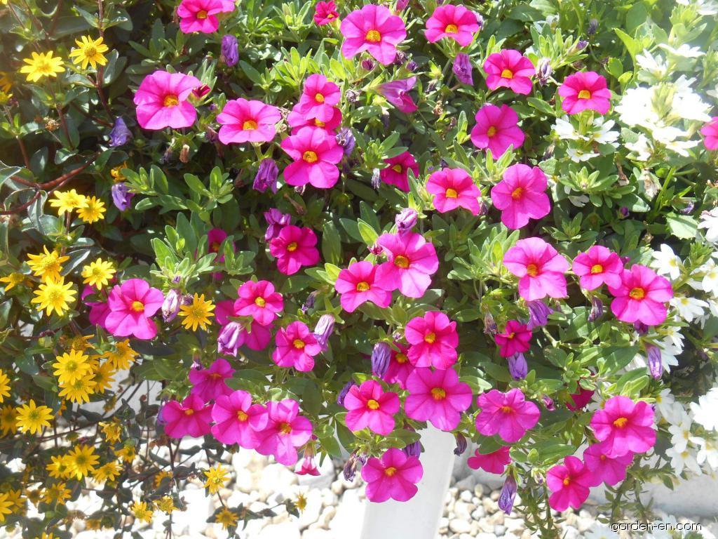 Mini petunia - Calibrachoa Celebration Rose