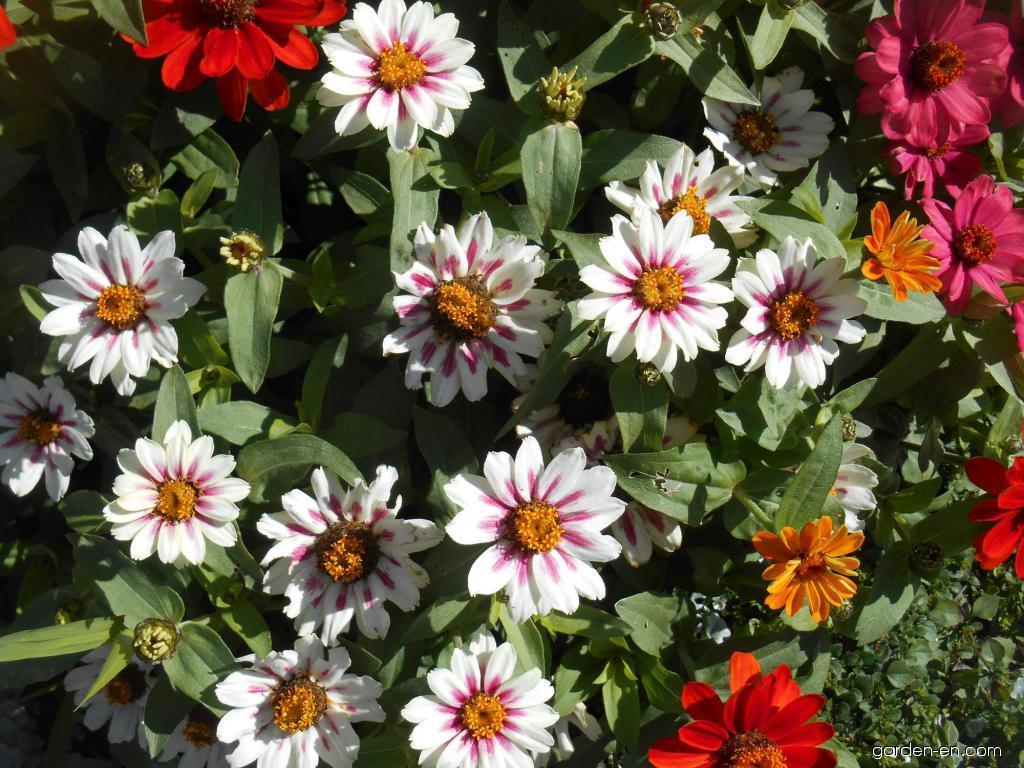 Ostálka marylandská Zahara Starlight Rose (Zinnia maryladica)