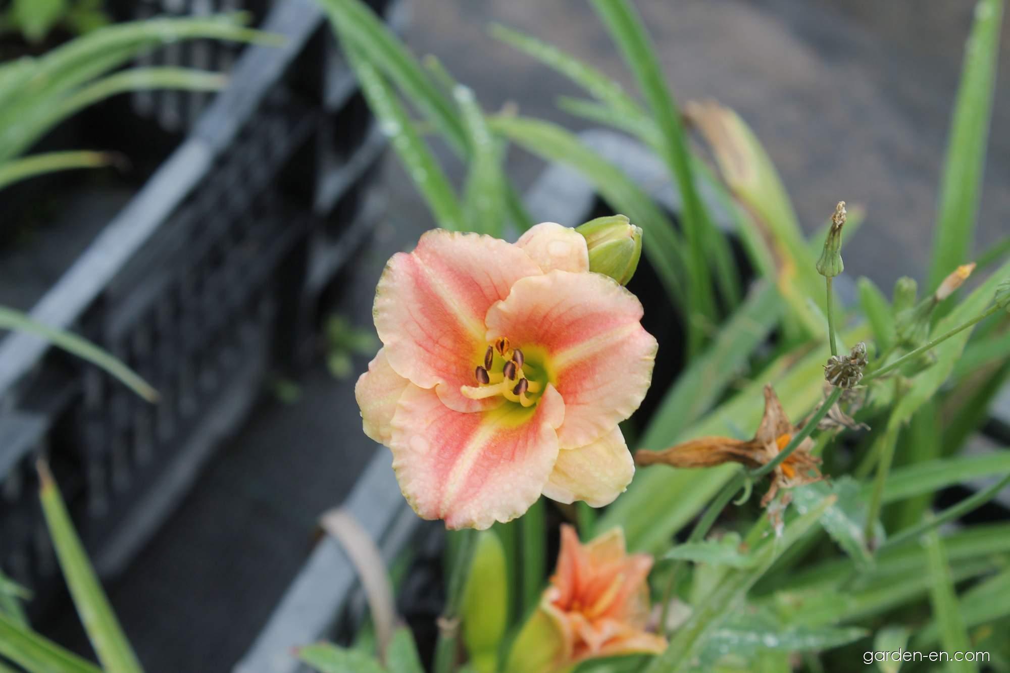 Daylily - Hemerocallis Little Anna Rosa
