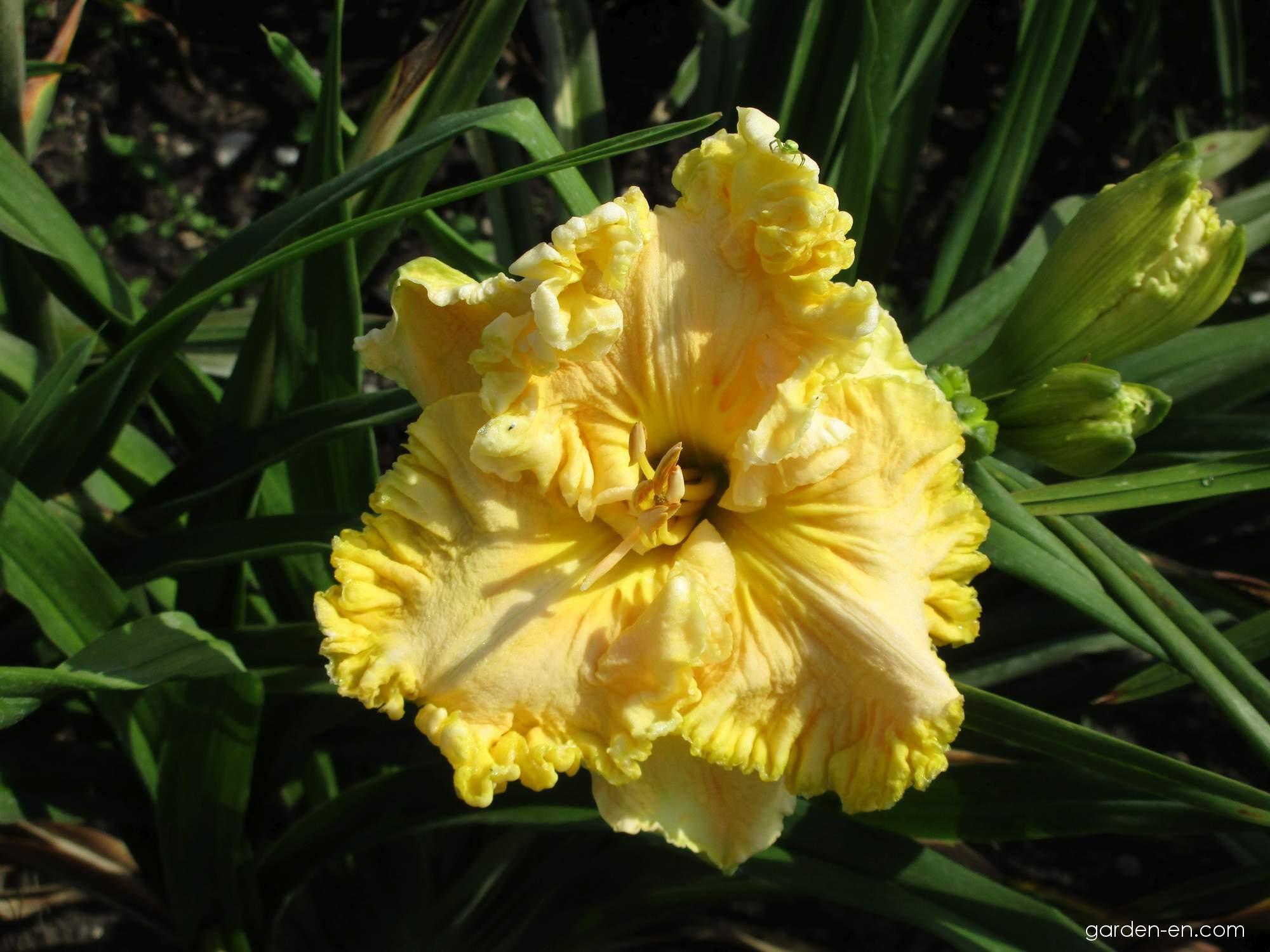 Denivka Maryzell (Hemerocallis hybrida)
