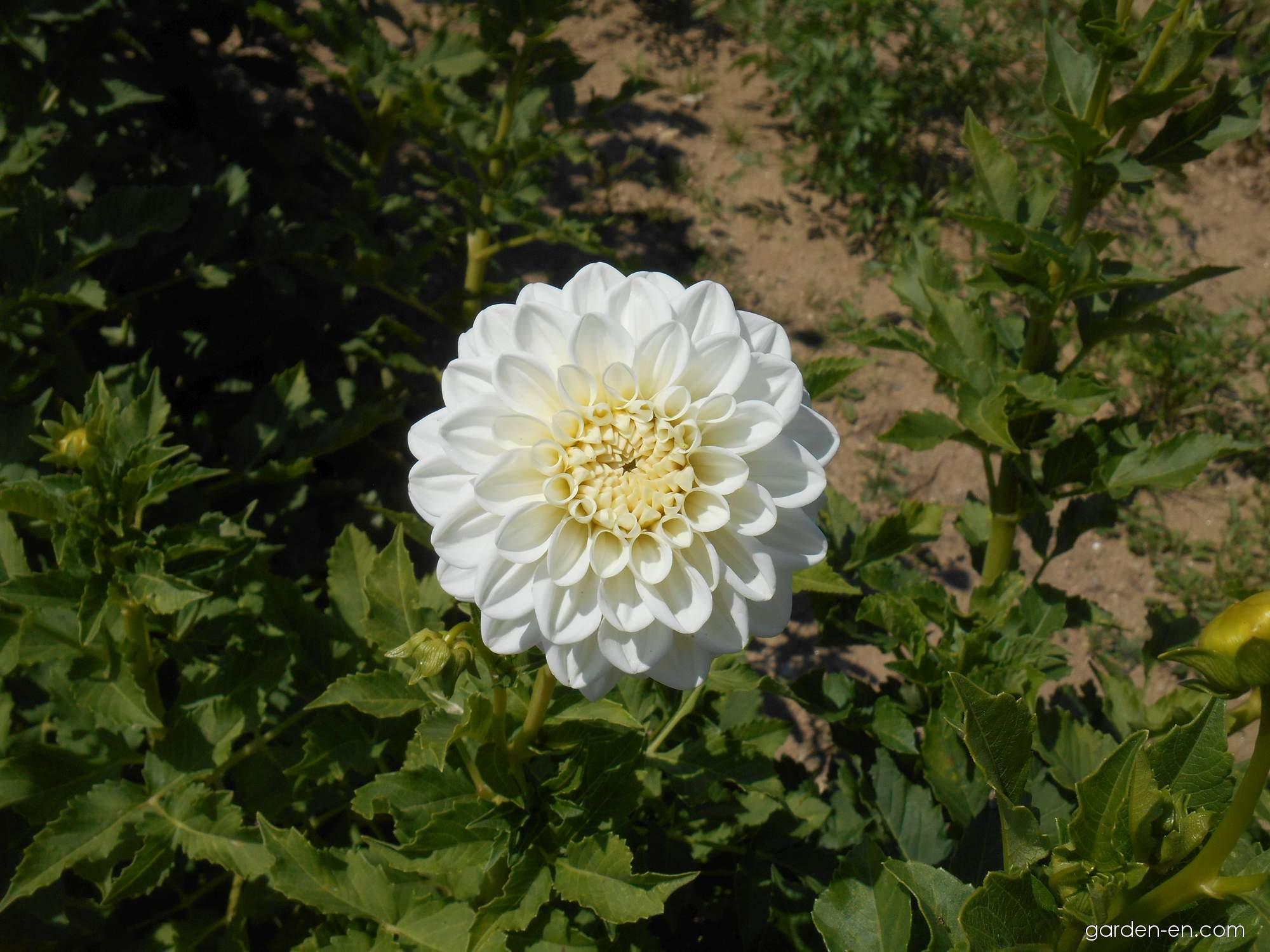 Jiřina Bílá koule (Dahlia)
