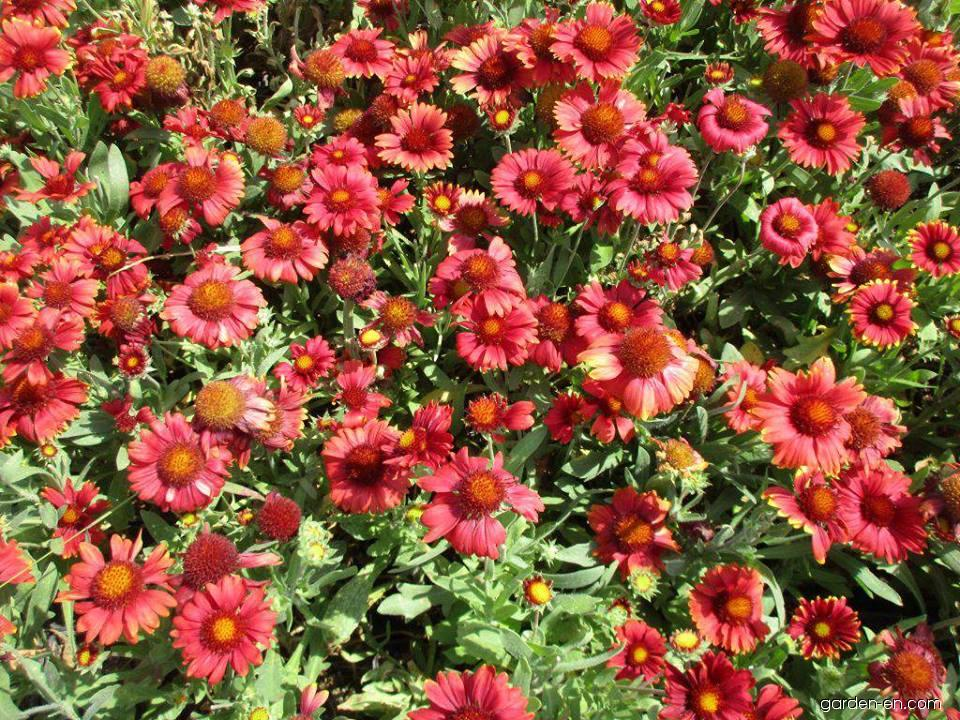 Gailliardia - Gaillardia aristata Arizona Red Shades