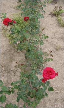 Růže - Sympathie (Rosa)