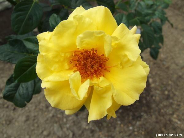 Rose - Rosa Lichtkönigin Lucia