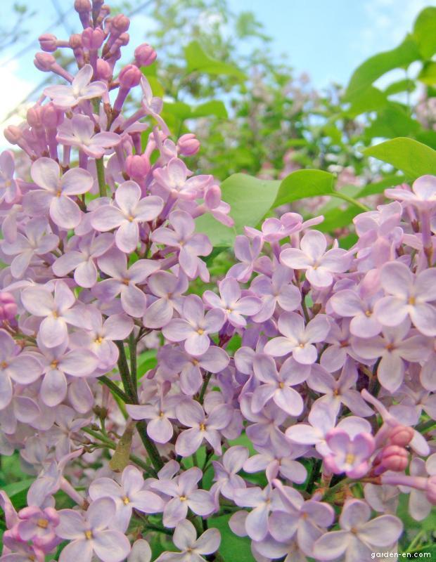 Šeřík obecný (Syringa vulgaris)